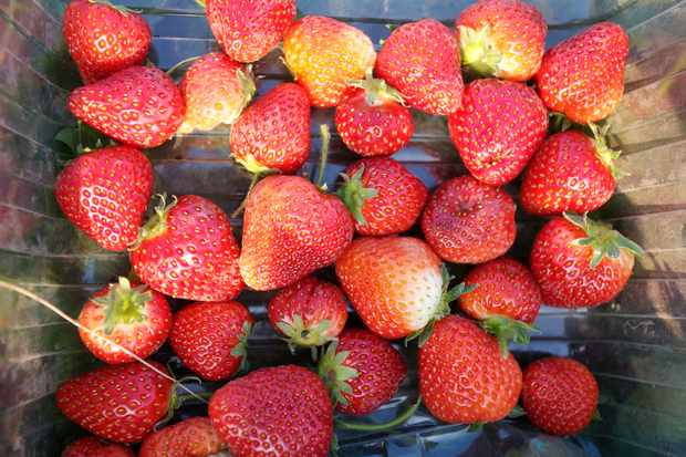 How to get an early crop of strawberries