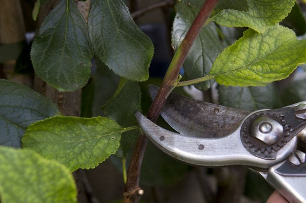 How to prune a plum tree - pruning side shoots