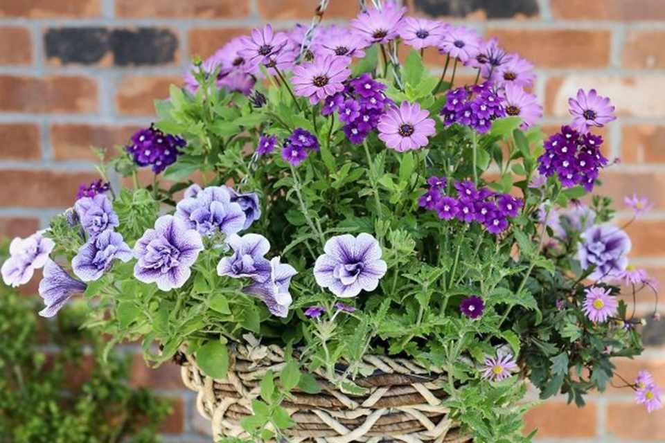 Osteospermum, petunia and verbena hanging basket