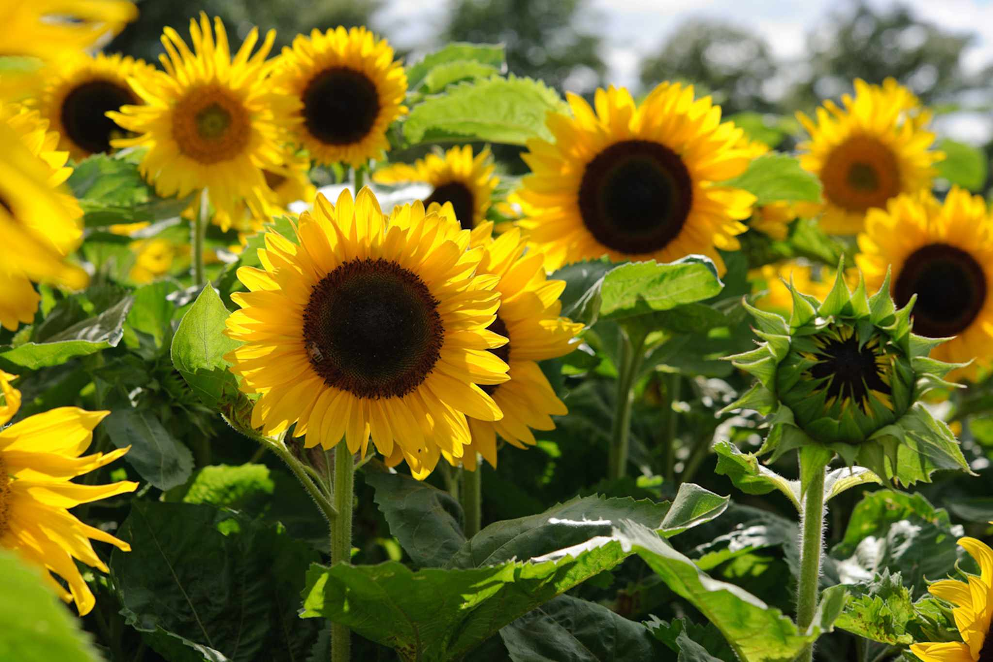 Flowers to pick in August - sunflowers