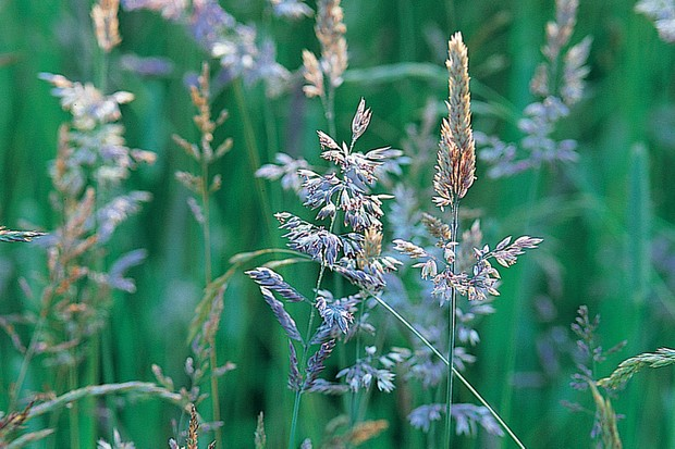 Flowerheads of annual meadowgrass, Poa annua