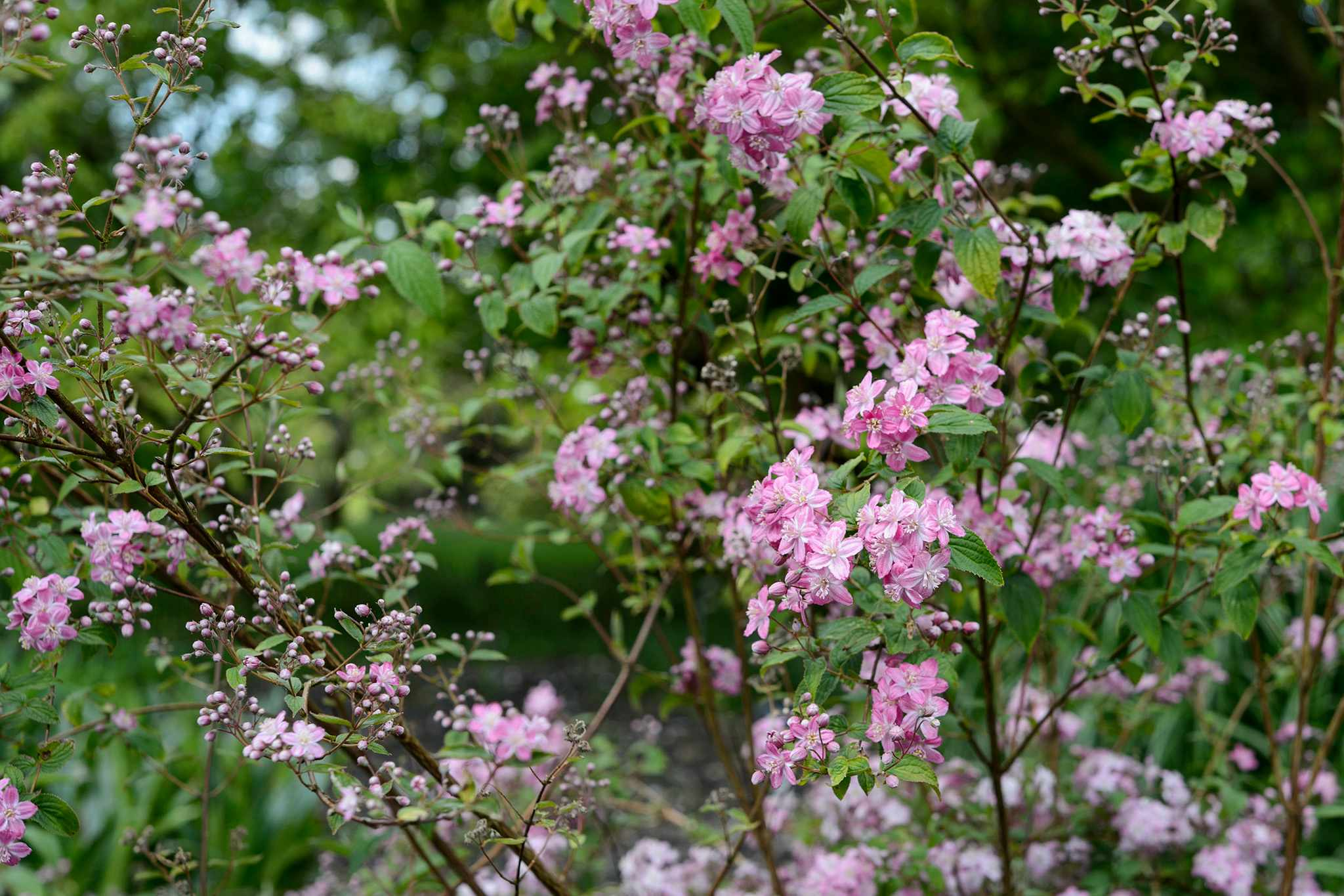 Pink-flowering Deutzia 'Mont Rose'