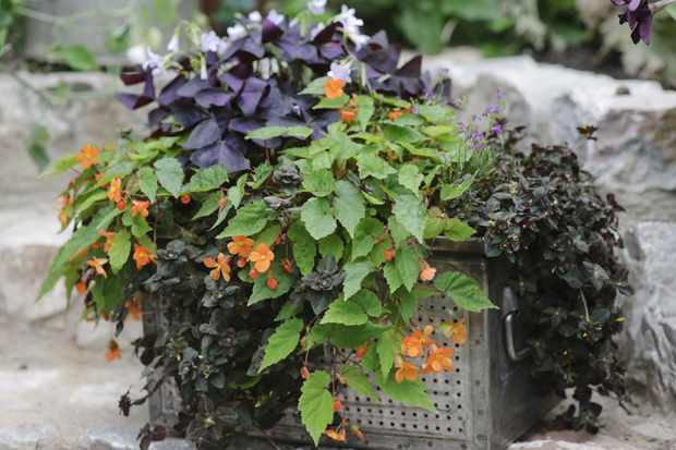 Oxalis, begonia and lobelia window box