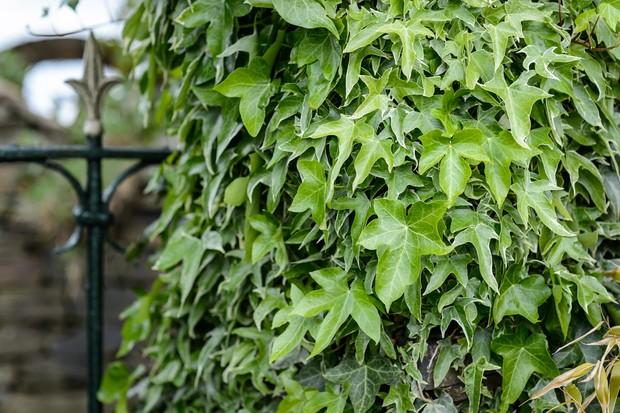 ivy-8