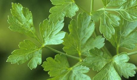 flat-leaf-parsley-2
