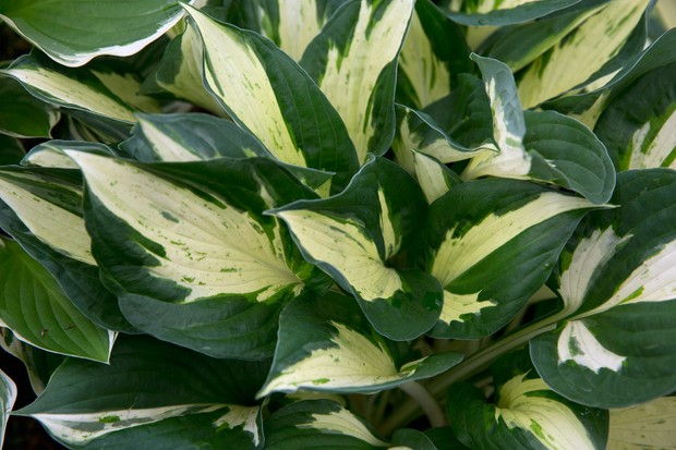 Hosta 'Revolution': lush green leaves variegated with a cream midline flare