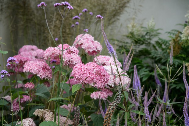Pale-pink veronicastrum blooms planted with complementing purple flowers