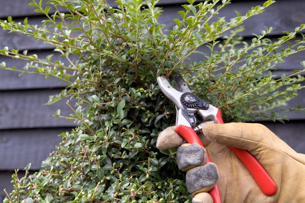 Using secateurs for careful shaping