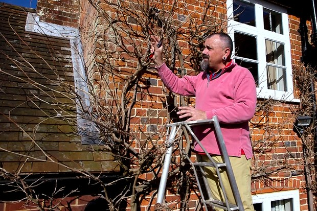 Pruning wisteria in winter