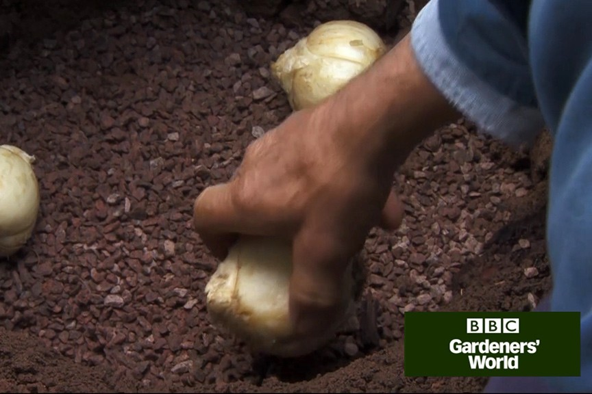 Monty Don planting Persian fritillary bulbs