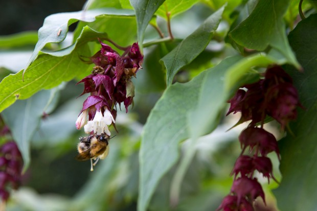 A bee on the dark purple-red and cream flowers of pheasant berry