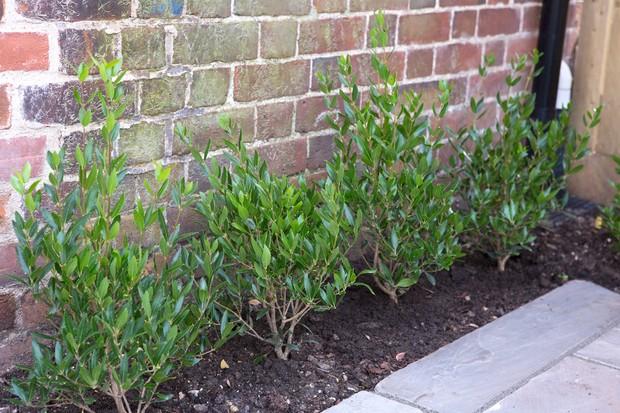phillyrea-latifolia-3