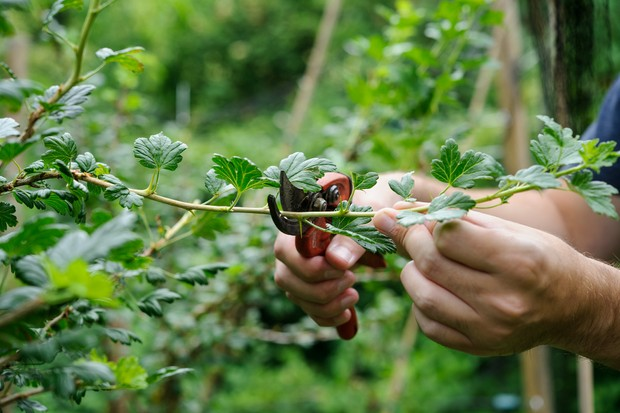 Pruning a gooseberry bush