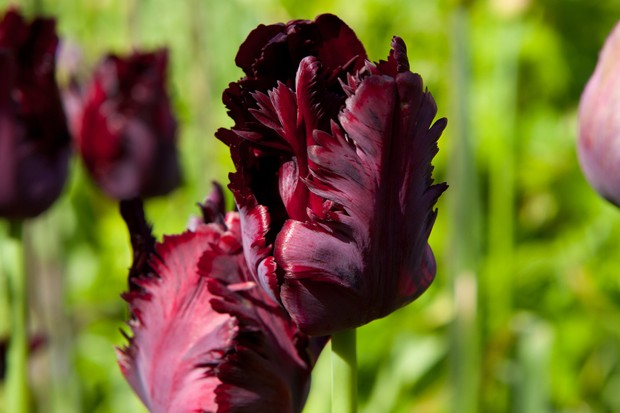 Tulip 'Black Parrot' with rich, dark purple, deeply fringed and frilled petals
