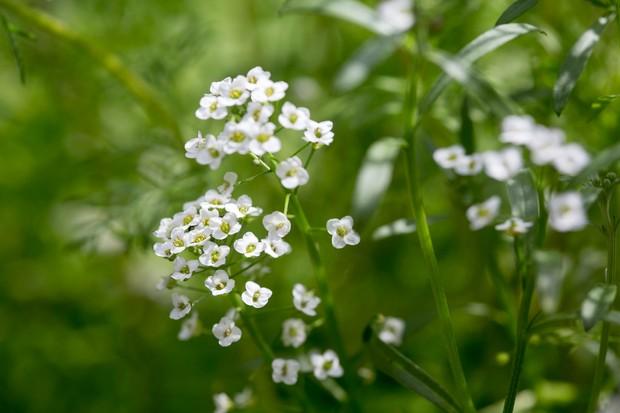 sweet-alyssum-lobularia-maritima-5