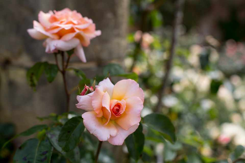 How to prune roses in winter