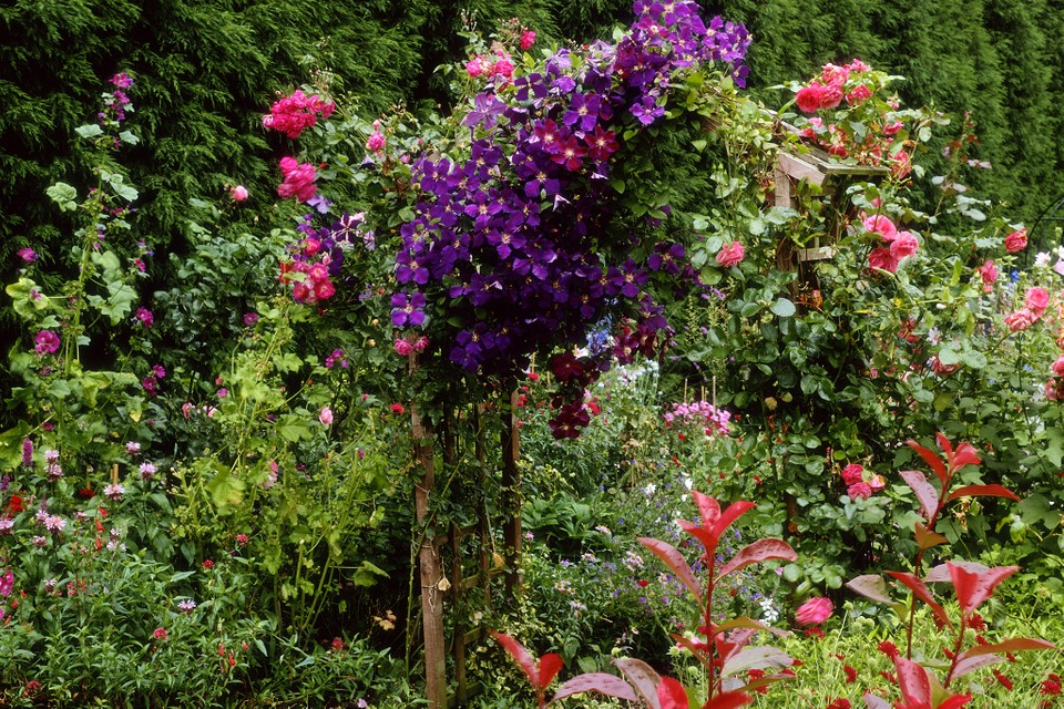 What To Grow With Clematis Bbc Gardeners World Magazine