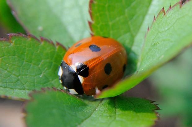 A ladybird nestled on leaves