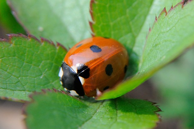 A ladybird nestled on leaves