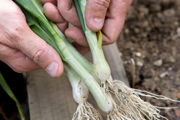 spring-onion-3