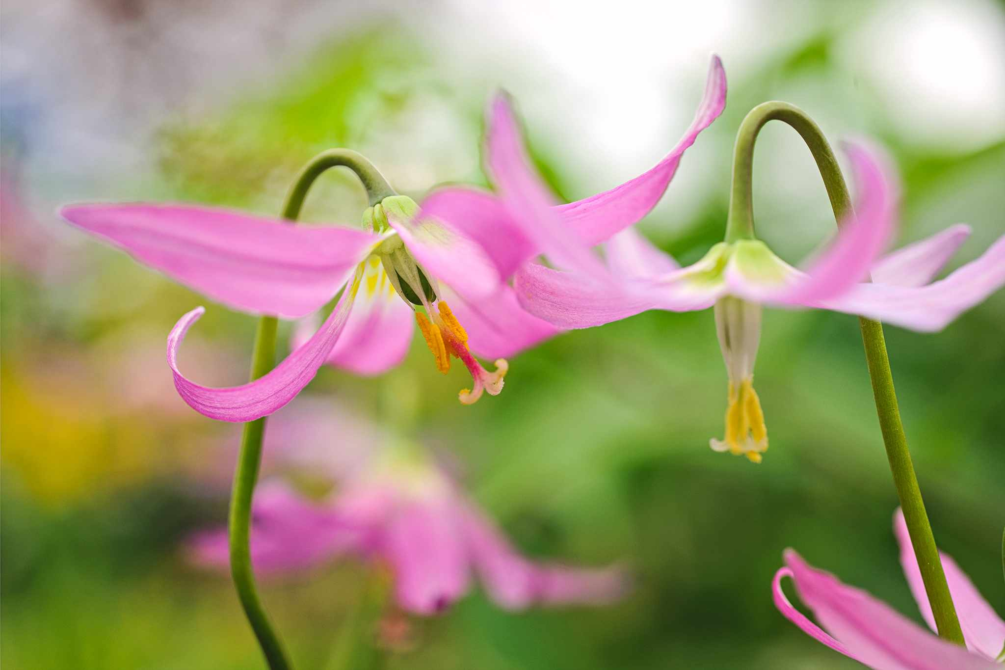 Pink flowers of dog's tooth violet