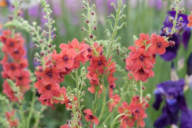 Orange-red Verbascum 'Firedance'