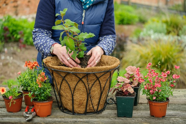How to create a summer hanging basket -planting the taller plants
