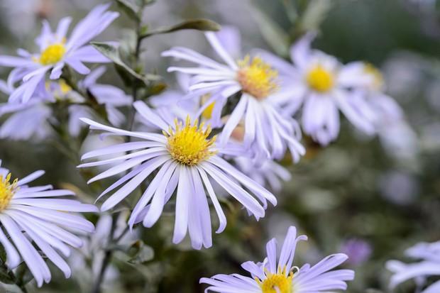 Delicate mauve michaelmas daisy 'Algars Pride'