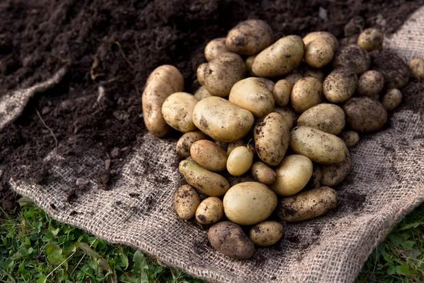 Freshly harvested new potatoes