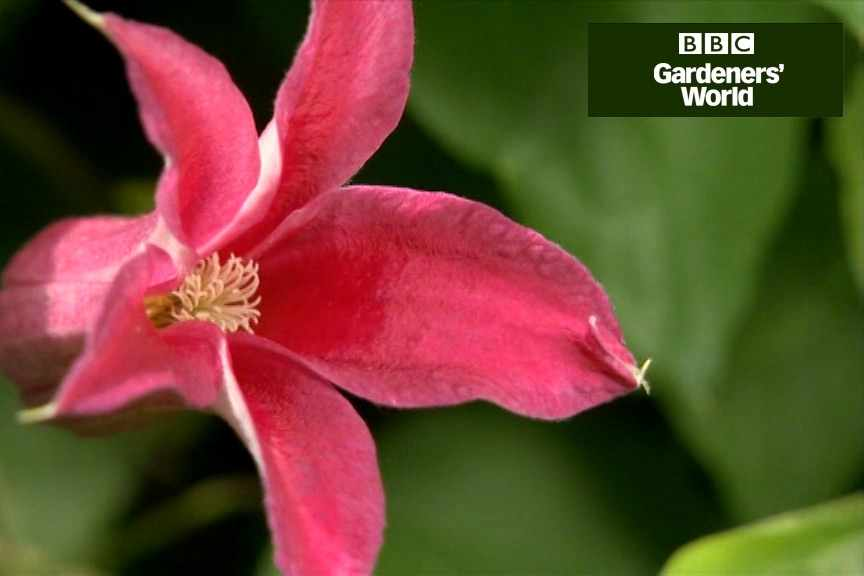 Two ways to grow clematis in a flower border