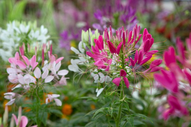 White, pink and purple cleome flowers