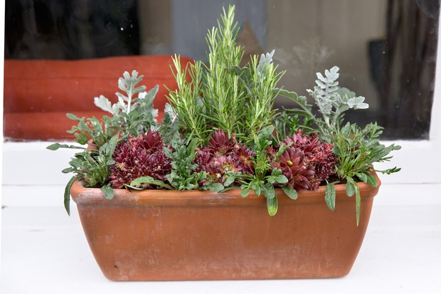 rosemary-and-sempervivum-window-box-3