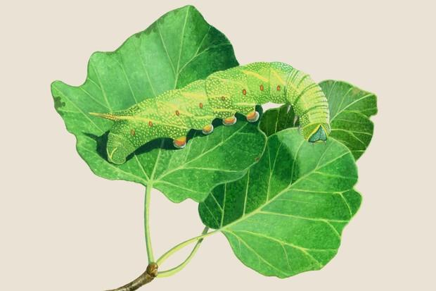 poplar-hawk-moth-laothoe-populi-2