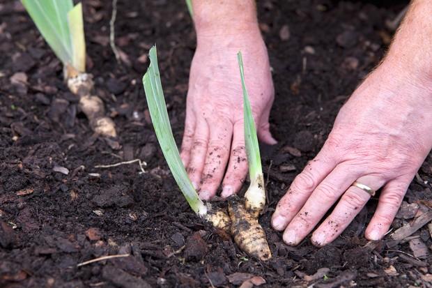 planting-bearded-iris-3