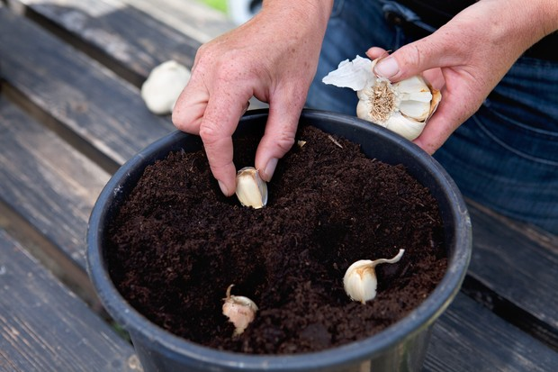 sowing-garlic-in-a-large-pot-2