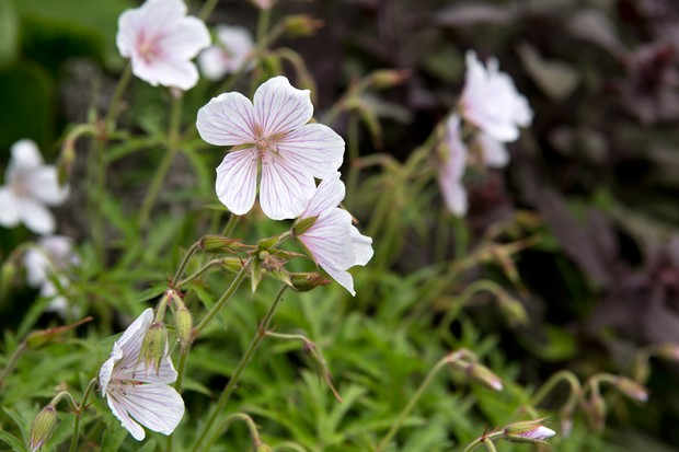 White and pale-pink hardy geranium flowers