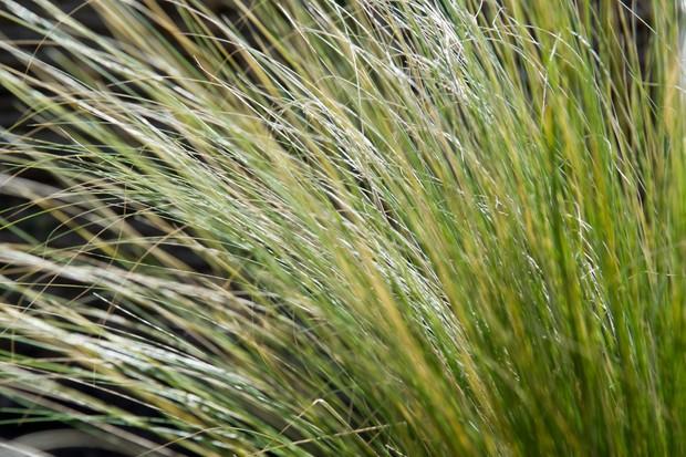 Gold and green grass <em>Stipa tenuissima</em>