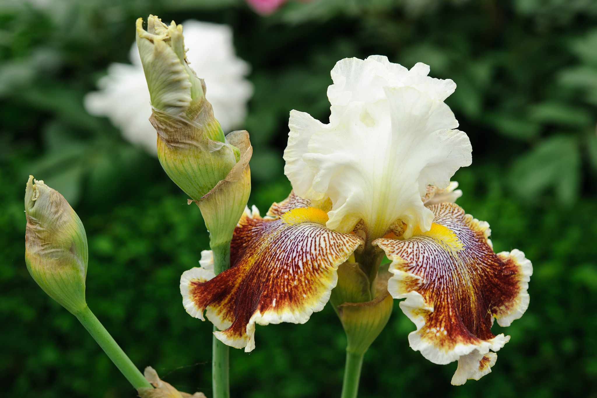 Iris 'Wonders Never Cease'