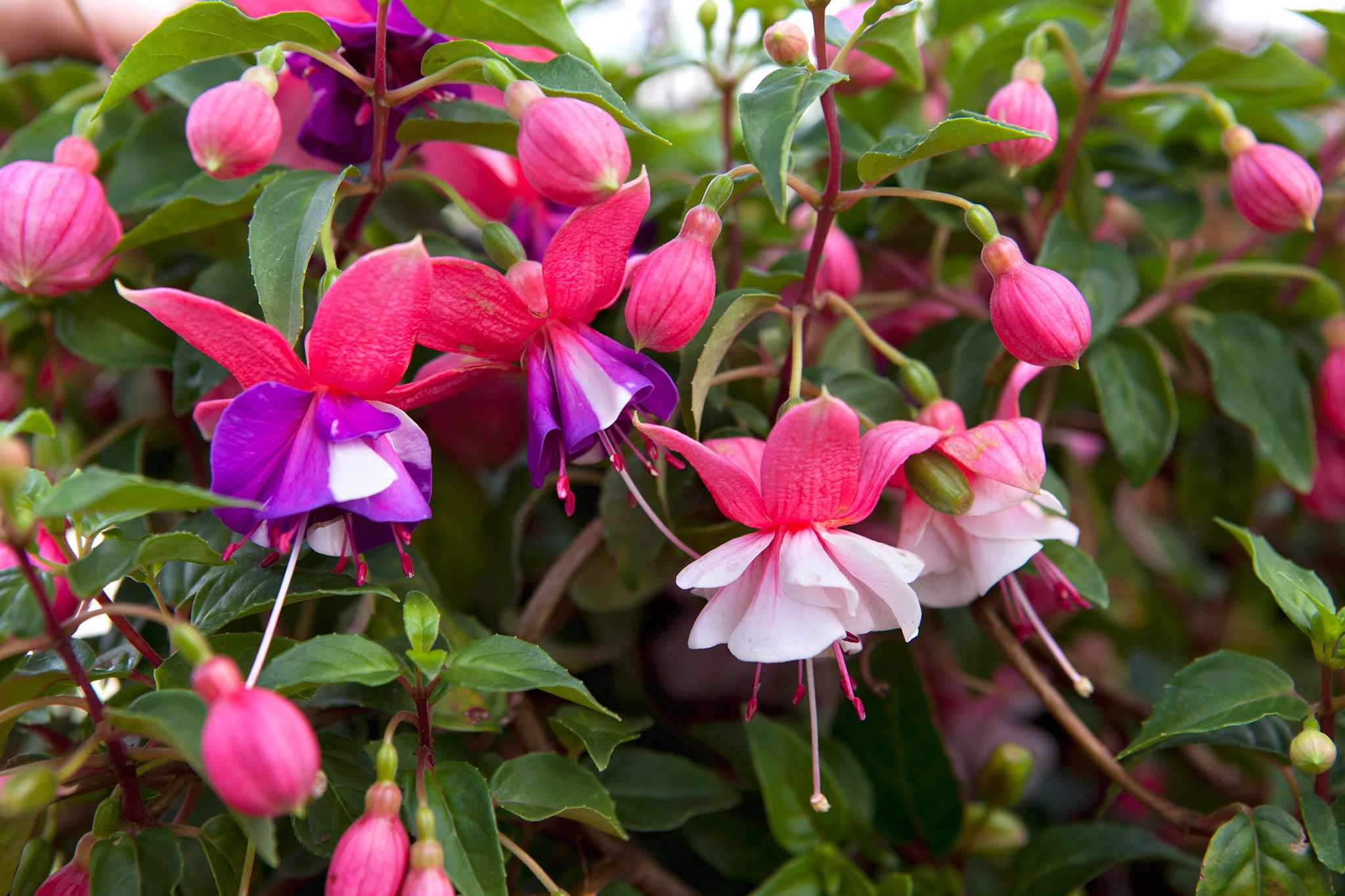 Grow guide - fuchsias