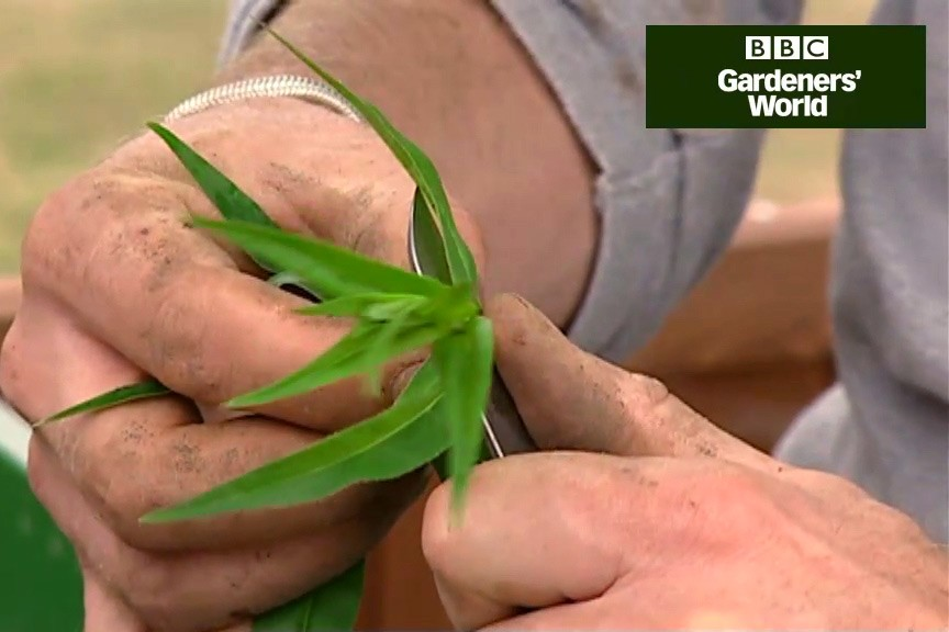How to take semi-ripe cuttings video