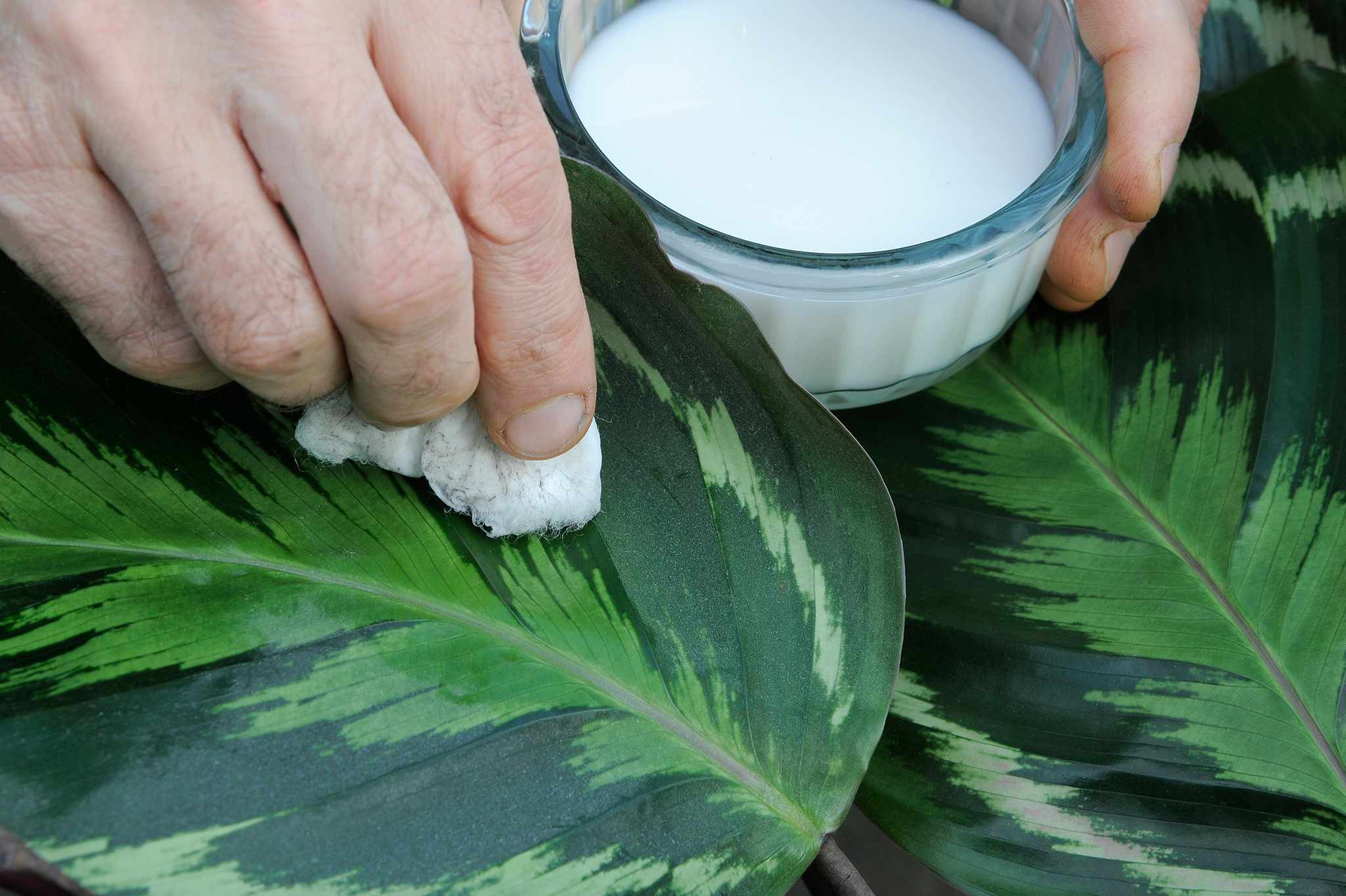 Cleaning a houseplant leaf with cotton wool soaked in a cleaning product