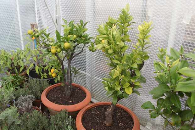 grow-your-own-lemons-2