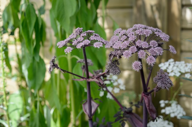 Purple flowers of Angelica gigas