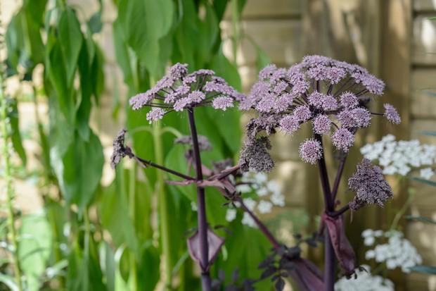 Purple flowers of Angelica gigas