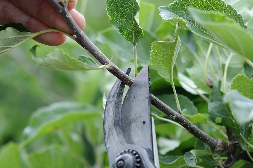 Quick Tips Can I renovate an old apple tree