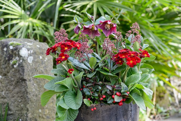 hellebore-and-primula-container-2