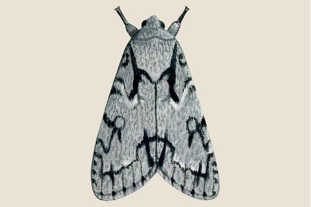 Grey dagger moth illustration