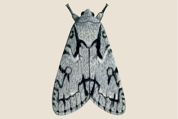Grey dagger moth illustration