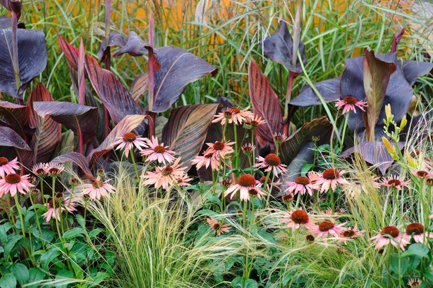 Pale-pink echinaceas planted with grasses and canna lilies