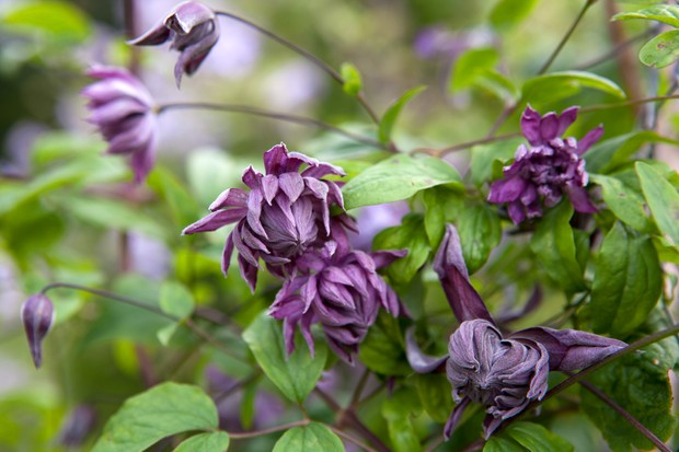 clematis-mary-rose-3